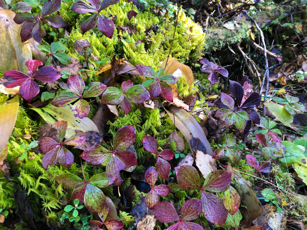 Boreal Forest - Bunchberry